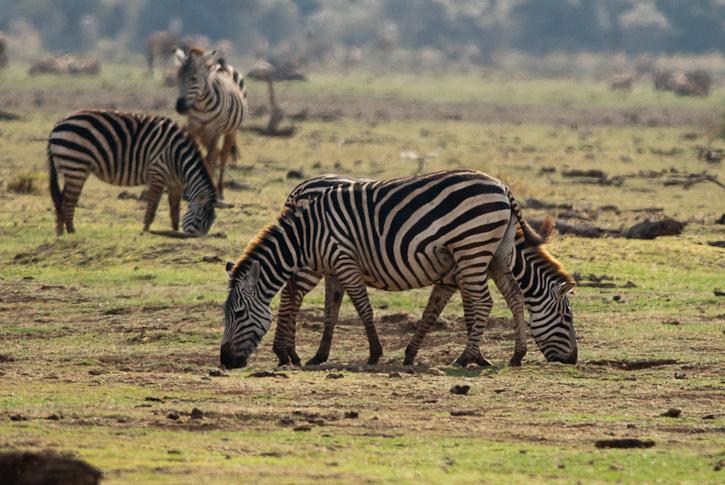 Zebras, eine der vielen Tierarten im Park