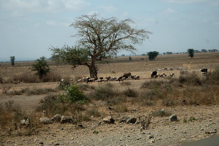 Boabap und Viehherde